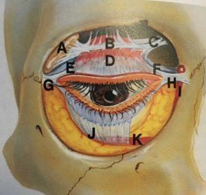 まぶたの奥の解剖