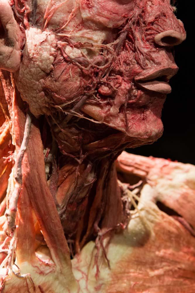 かおのくびの解剖標本